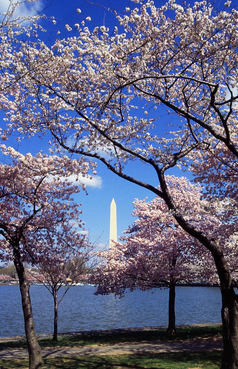 Washington C D C Tidal Basin Cherry Trees West Potomac Park Wikipedia Cherry Blossom Festival Blossom Trees Japanese Cherry Tree