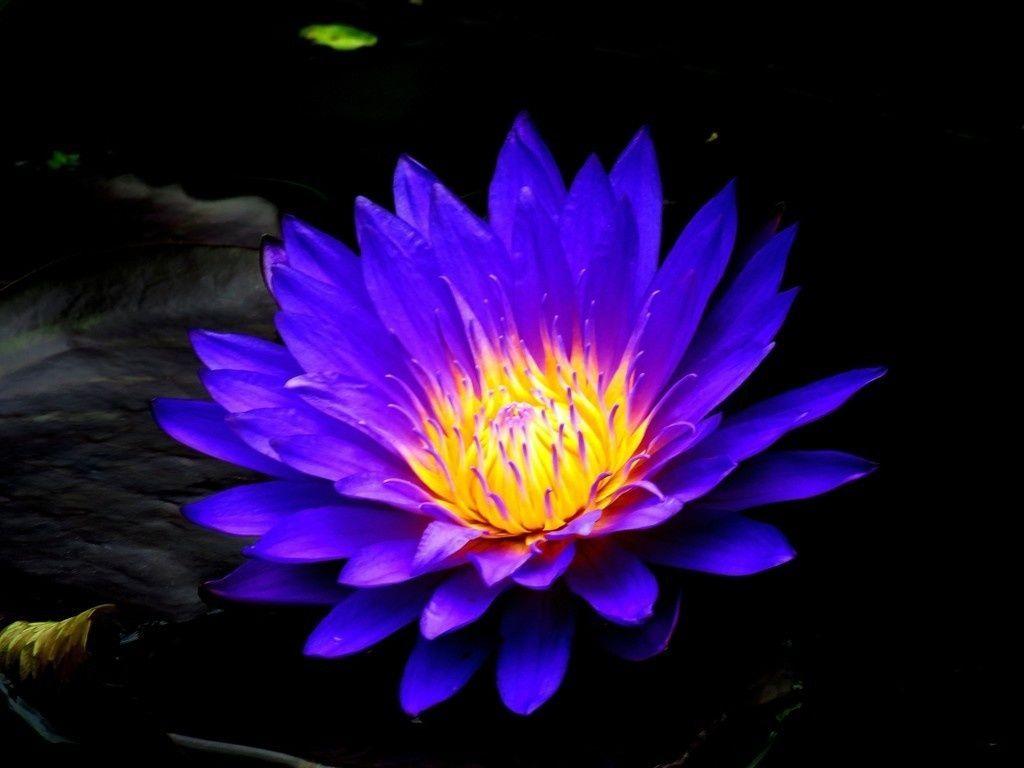 Blue water lily bloom flower 4k wallpaper flowers wallpapers blue water lily bloom flower 4k wallpaper purple flowers wallpaper red flowers izmirmasajfo