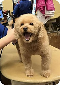 Sharon Center Oh Poodle Miniature Mix Meet Samwise Kelsey A Dog For Adoption Http Www Adoptapet Com Pet 174371 Miniature Poodle Dog Adoption Poodle