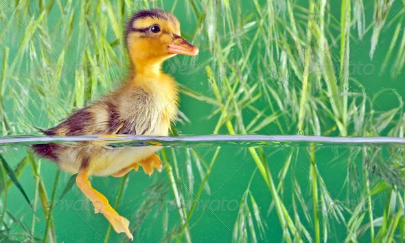 seven days old duckling swimming ...  agriculture, alertness, analyzing, animal, aquarium, asking, babies, band, beak, bird, brown, chick, child, curiosity, cute, detail, duck, duckling, ducky, examining, farm, floating, fluffy, foot, friends, funny, green, isolated, life, little, looking, macro, new, newborn, pets, poultry-yard, small, spring, standing, swimming, team, water, webbed, wing, yellow, young