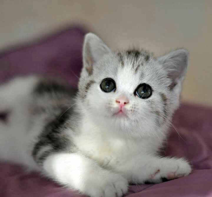 Silver Tabby And White Scottish Fold Straight Eared