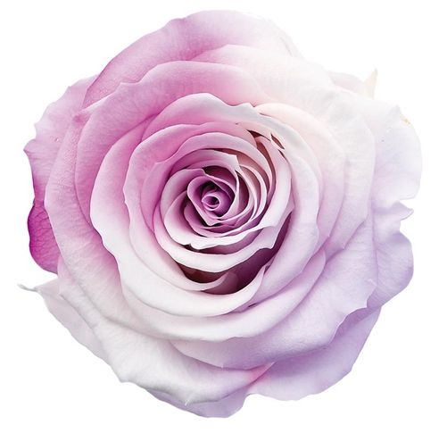 Amazing two colored rose | Bright Beautiful Roses | Pinterest |Two Tone Lavender Roses