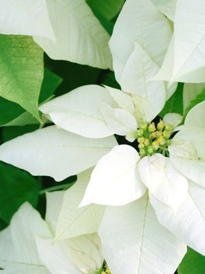 13 Holiday Party Tips Christmas Flowers Poinsettia Holiday Scents