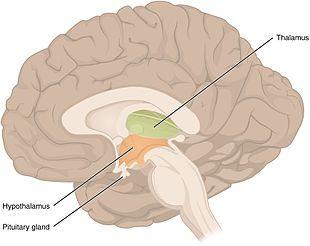 Diencephalon Wikipedia The Free Encyclopedia Nervous System Anatomy Endocrine System Human Body Systems