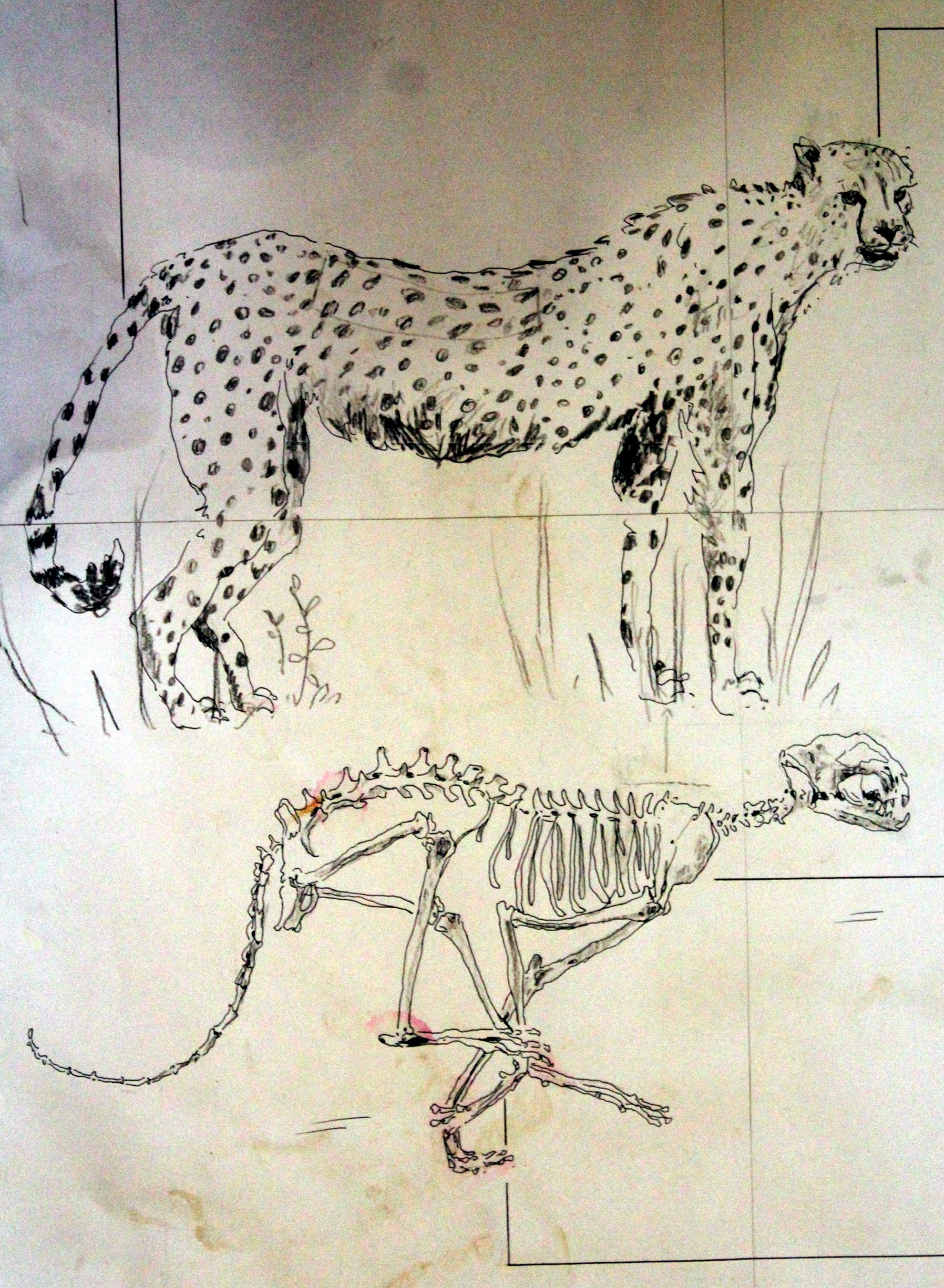 Cheetah Anatomy: Tail acts like a rudder to counter balance weight ...