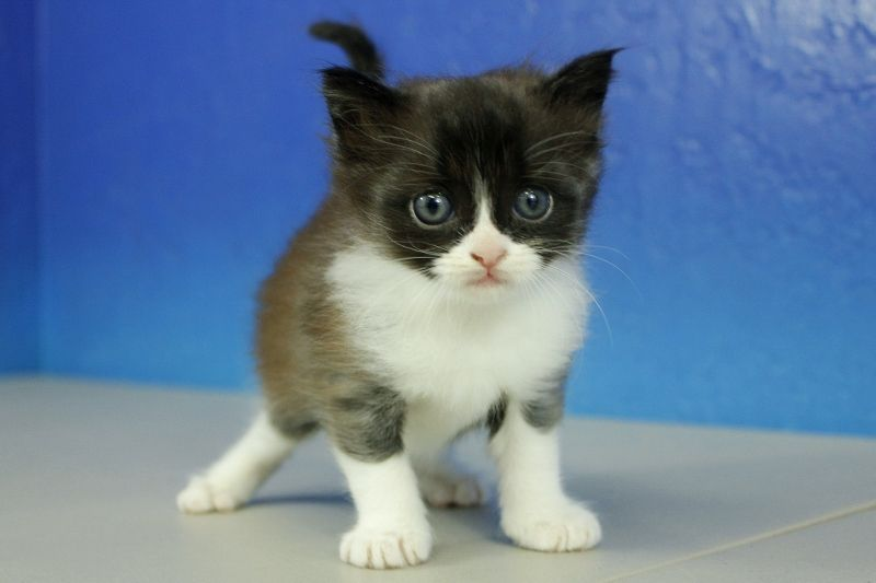 Oreo Black And White Munchkin Cat Kitten From Www Ragdollkitten