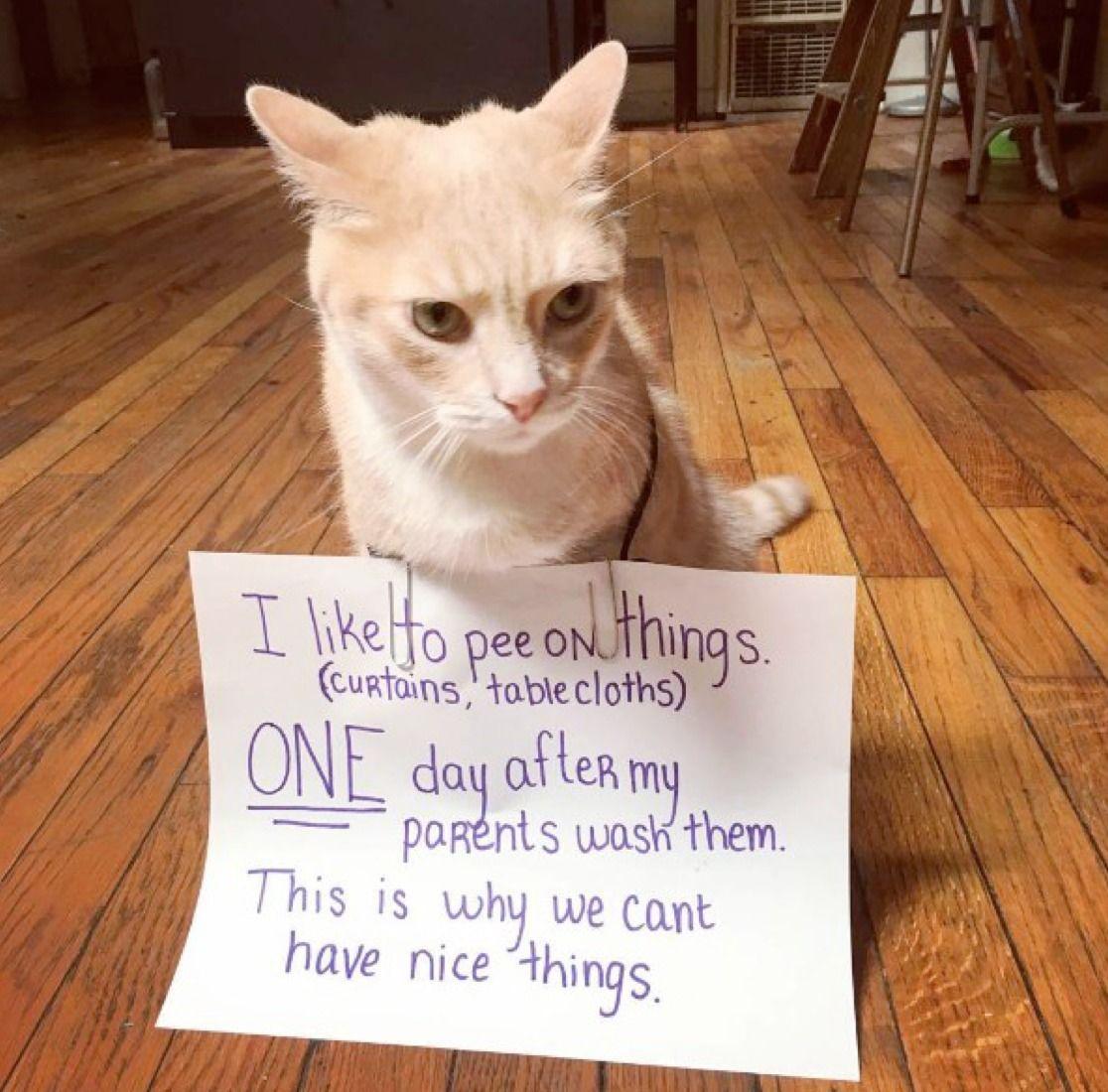 Pin by LifeBuzz on Pets Cute cat memes, Cat shaming