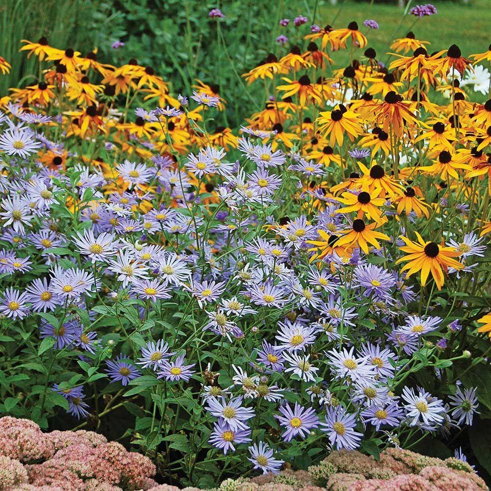 Aster X Frikartii Monch Flower Garden Plans White Flower Farm Flower Garden
