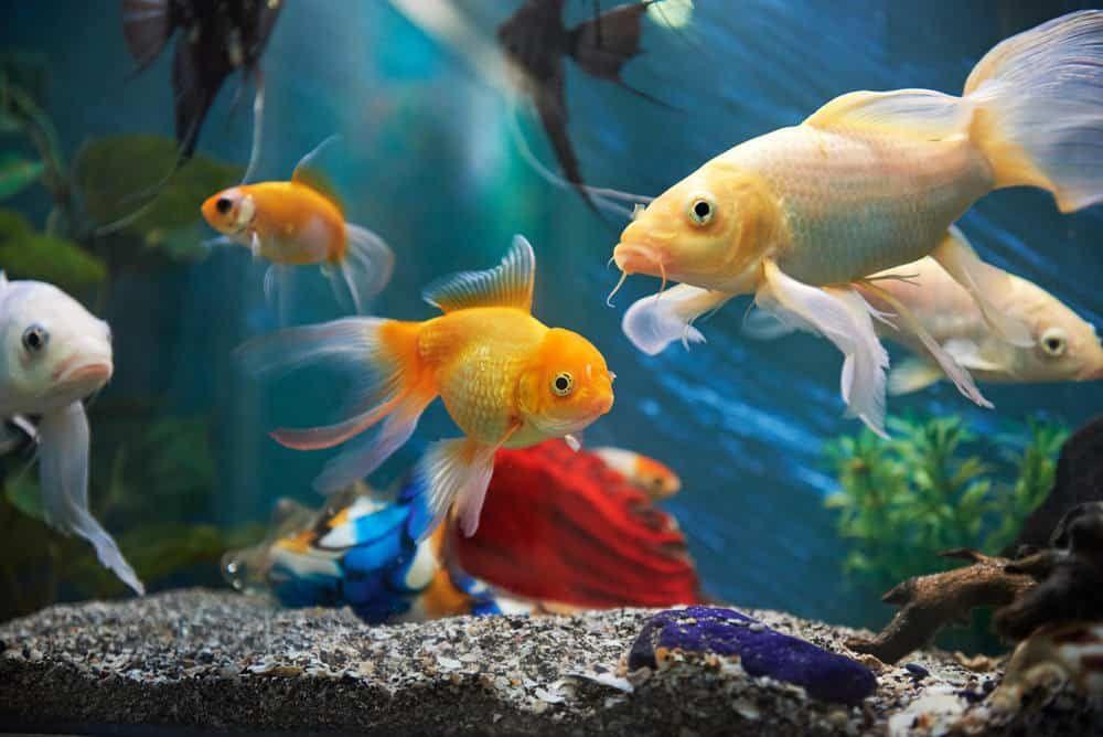 Marine Aquarium Fish Online India Fresh Water Fish Tank Marine Aquarium Fish Aquarium Fish