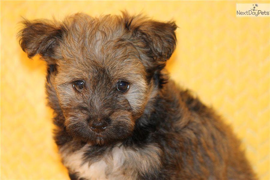 Carmen Havanese puppy for sale near Dallas / Fort Worth