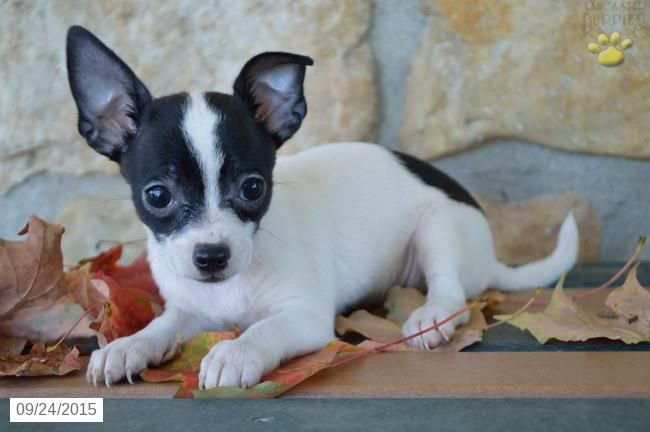 Chihuahua Puppy For Sale In Ohio Chihuahua Puppies