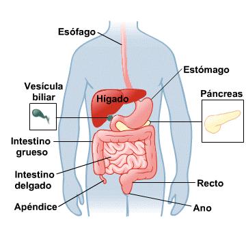 Sistema Digestivo Medlineplus En Espanol Digestive System Anatomy Digestive System Digestive System Function