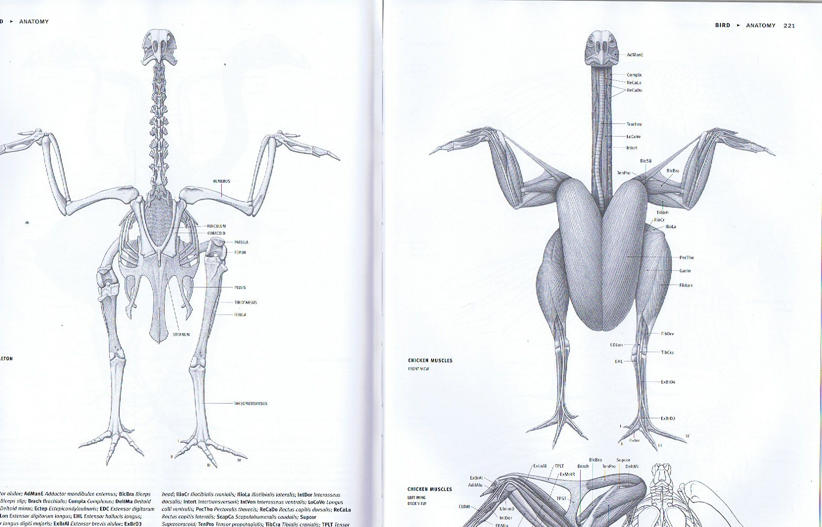 Chickens Are Hilarious Naked Birds Like Rodents Hide Most Of Chicken Wing Bones Diagram Their Anatomy In