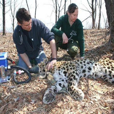 wildlife biologist job description wildlife biologistzoologist examining an amur leopard in the - Wildlife Biologist Job Description