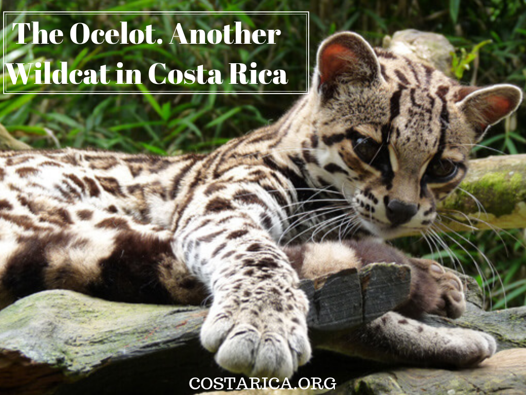 how to find an ocelot