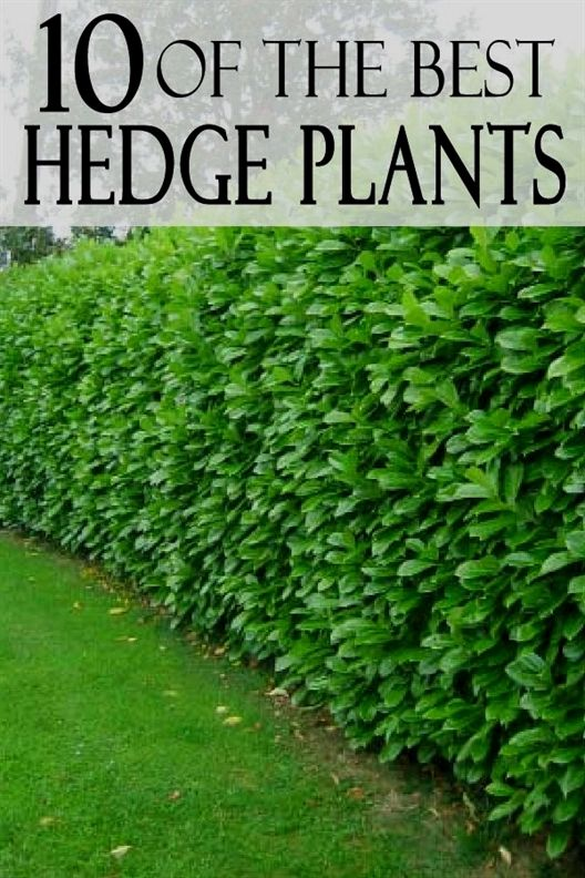 Photo of Top 10 Best Hedge Plants…by Zone