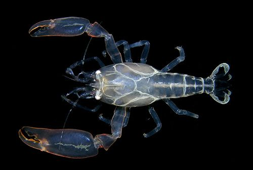 Pontonia margarita - commensal shrimp from the eastern Pacific | Flickr - Photo Sharing!