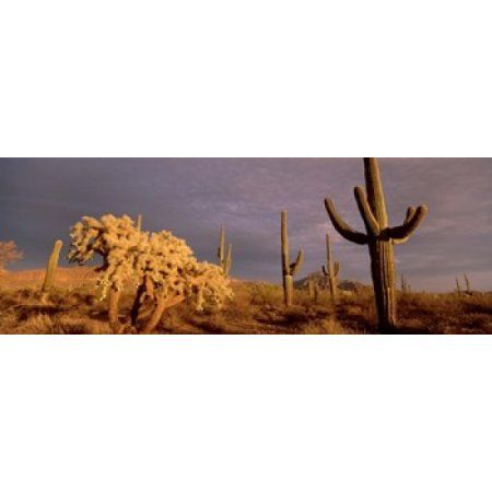 Low angle view of Saguaro cacti on a landscape Organ Pipe Cactus National Monument Arizona USA Canvas Art - Panoramic Images (36 x 13)