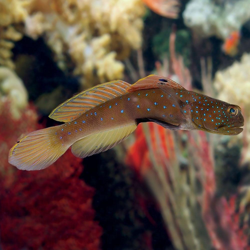 Blue Spot Watchman Goby Fish Pet Marine Aquarium Nano Tank