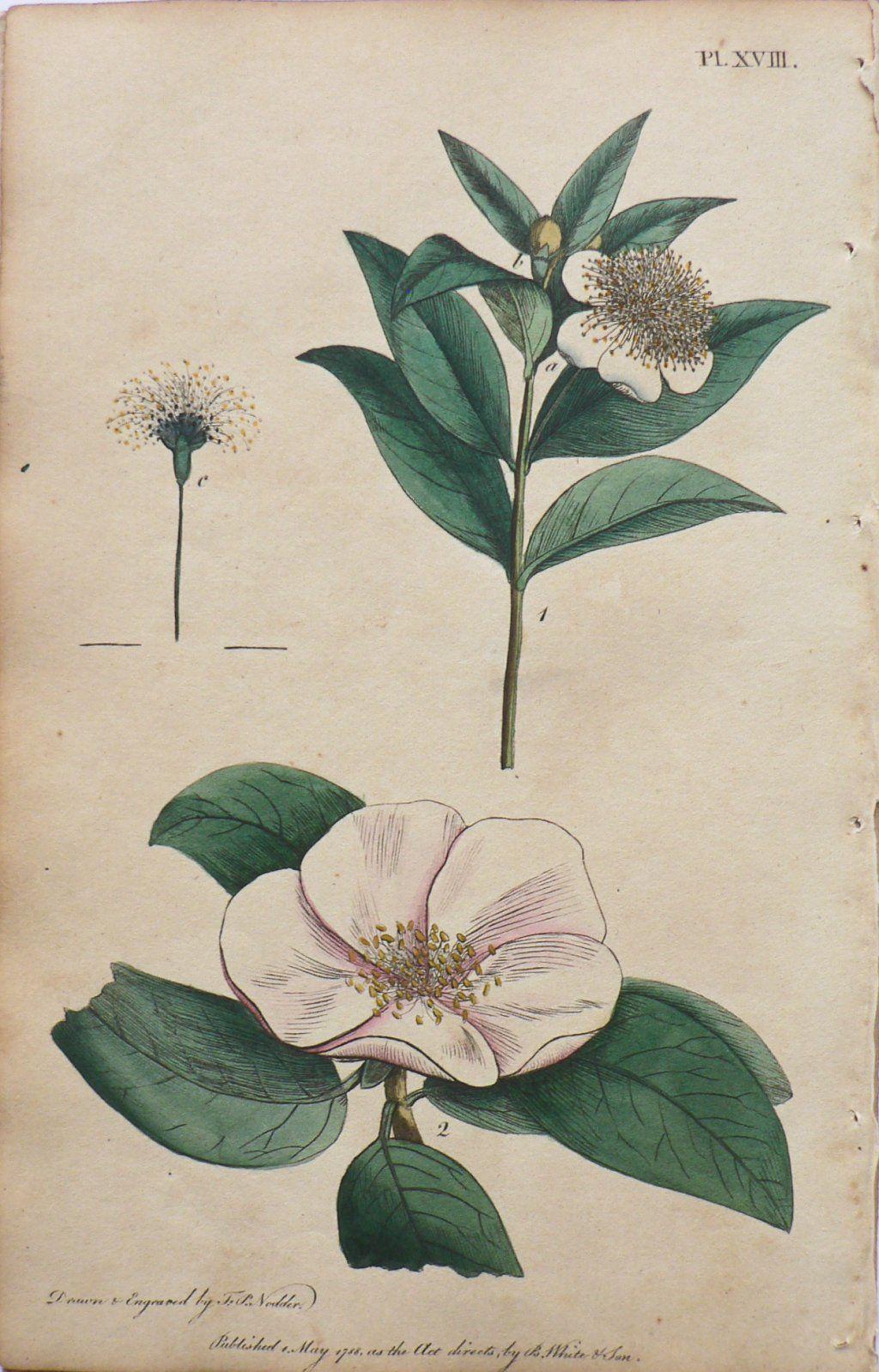 Thomas Martyn Myrtle Quince System Of Vegetables London J White 1799 Plate Xviii Icosandria M Botanical Illustration Illustration Biodiversity