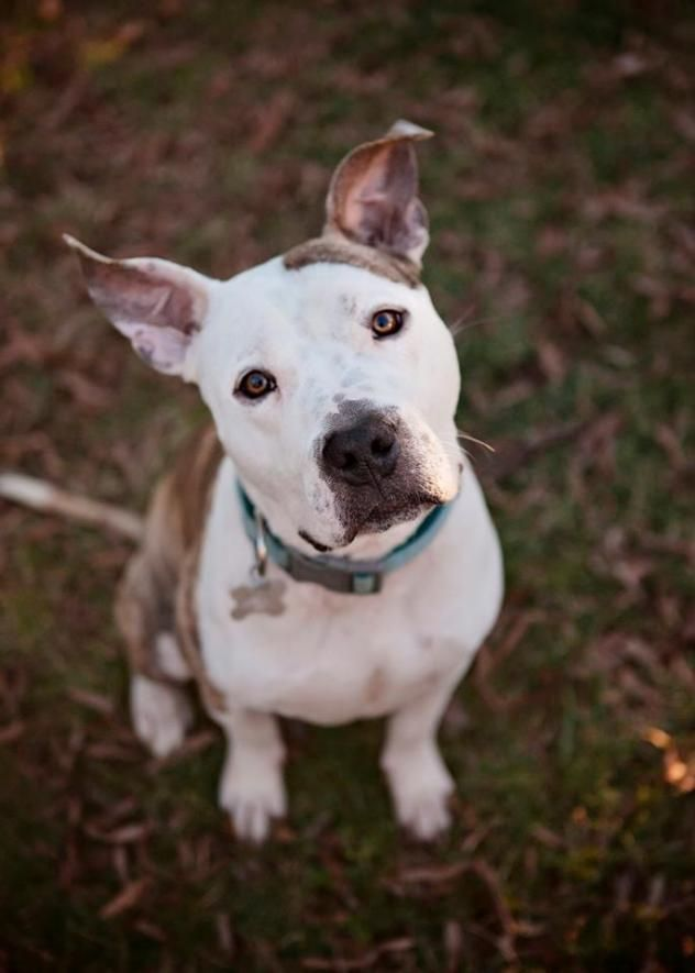 Adopt Boomer on Pitbull terrier, Terrier mix dogs, Bull