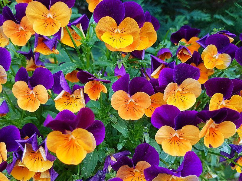 14 Unusual Pansy Varieties Pansies Flowers Pansies Viola Flower