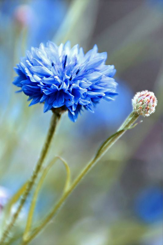 Glorious Cornflowers Types Of Blue Flowers Beautiful Flowers Blue Flowers