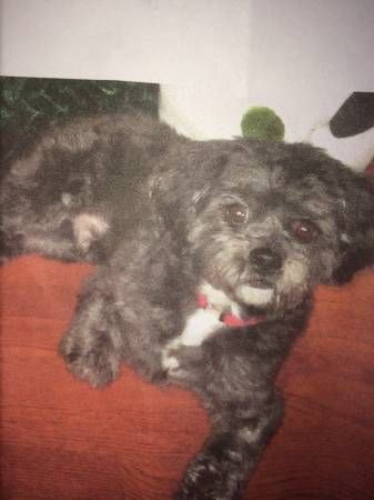 Black & White Shih Tzu Poodle Mix Missing From Uniondale