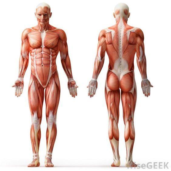 Hermosa Los Huesos Del Esqueleto Humano Marcado Modelo - Anatomía de ...