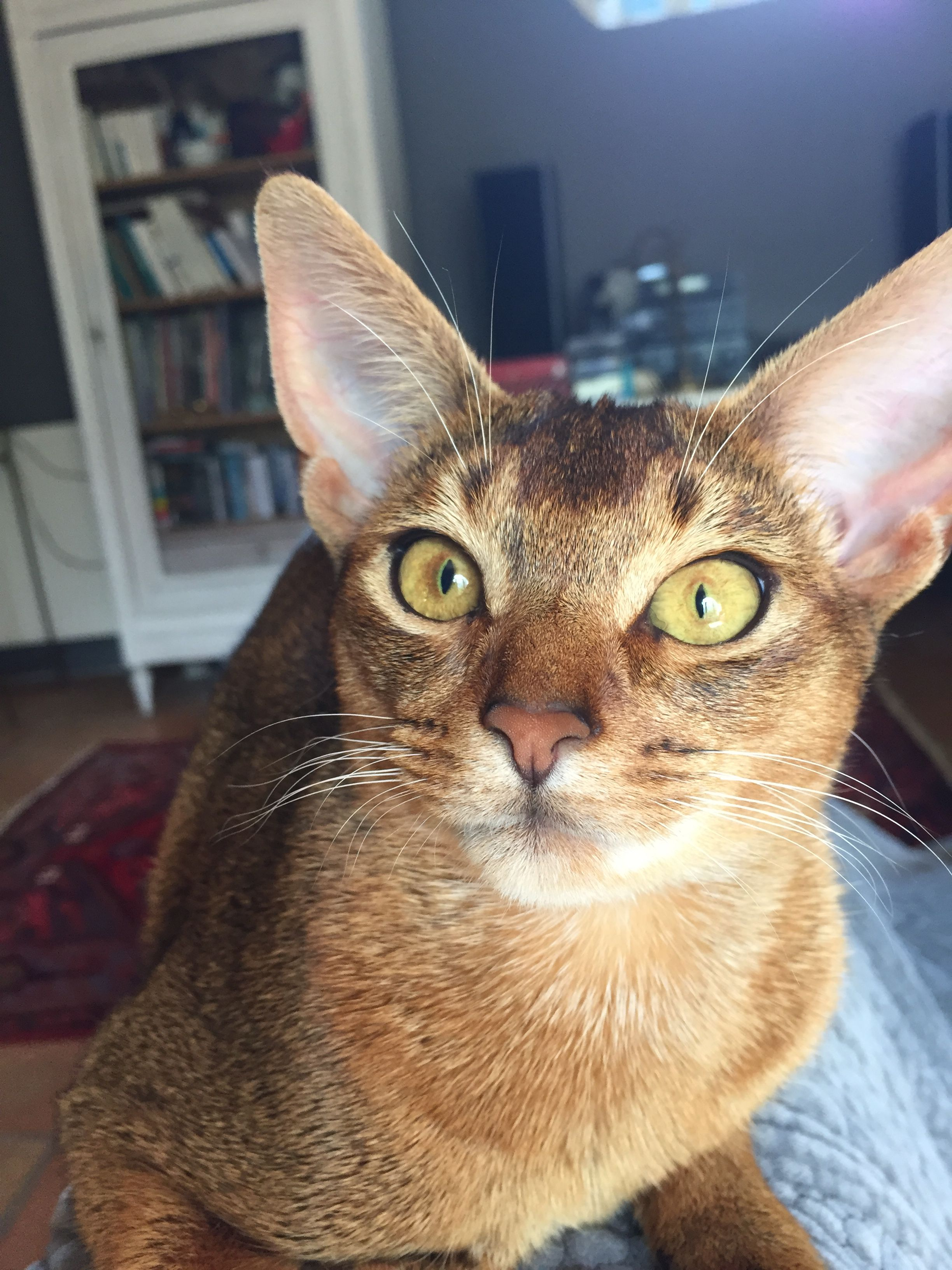 Ig I'm baby !! I want food !!! Abyssinian cats, I love
