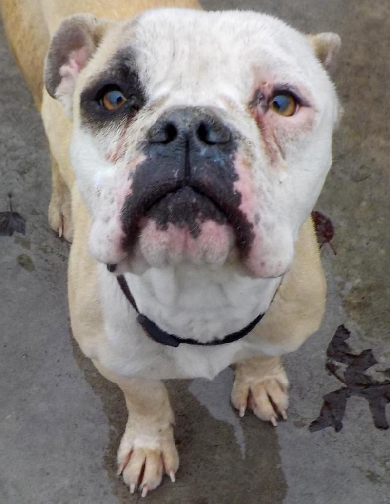 Adopt 20 Chloe Adopted On Petfinder Furry Friend Dogs And Puppies Bulldog Dog