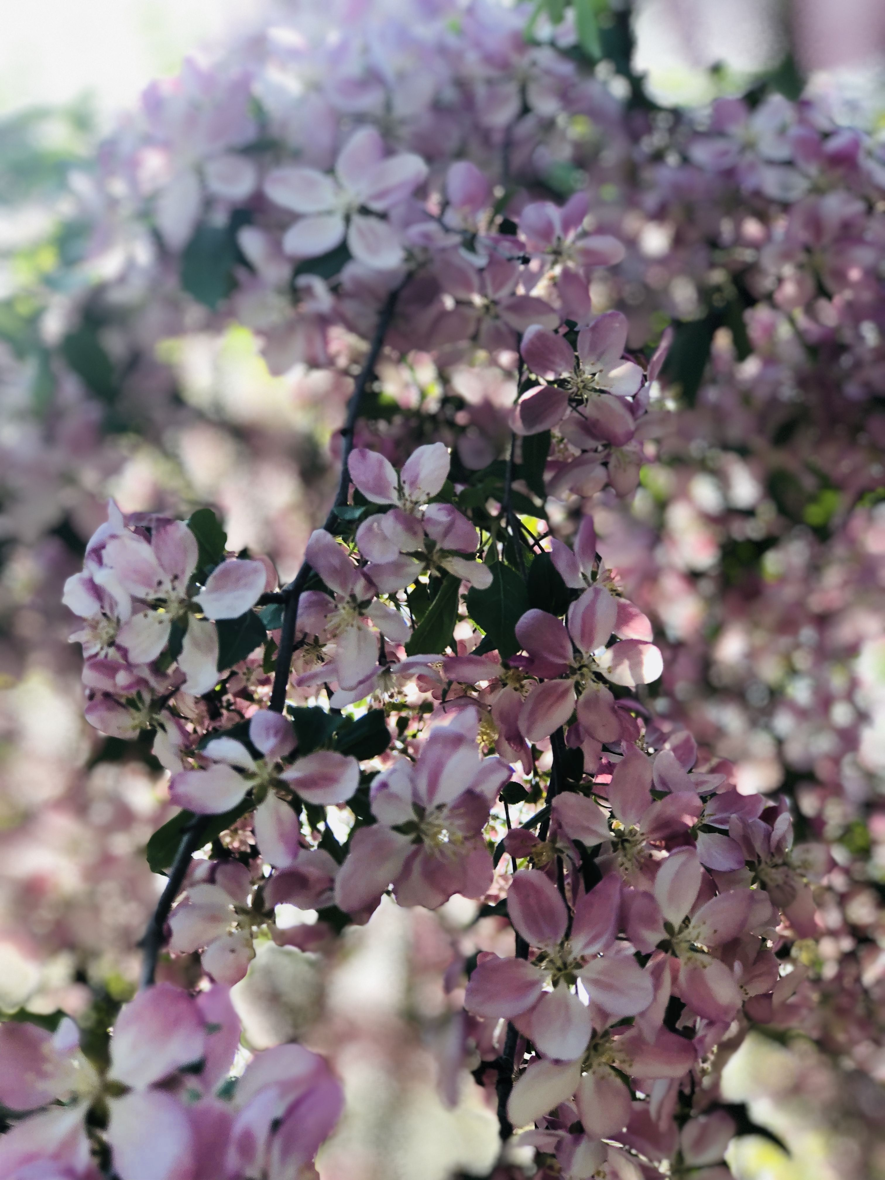 Pink Aesthetic Photography Flowers Spring Cherry Blossoms
