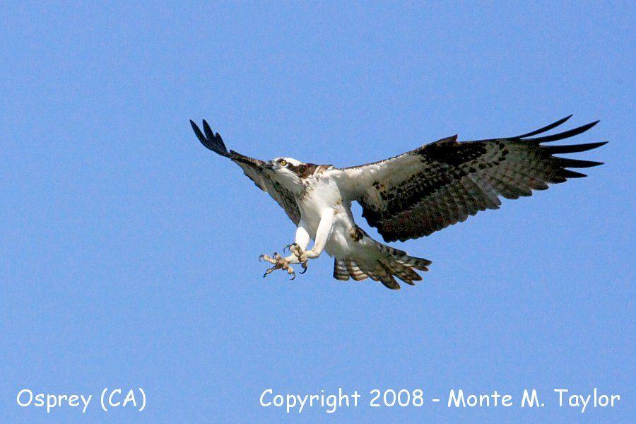 Osprey (Baja California)