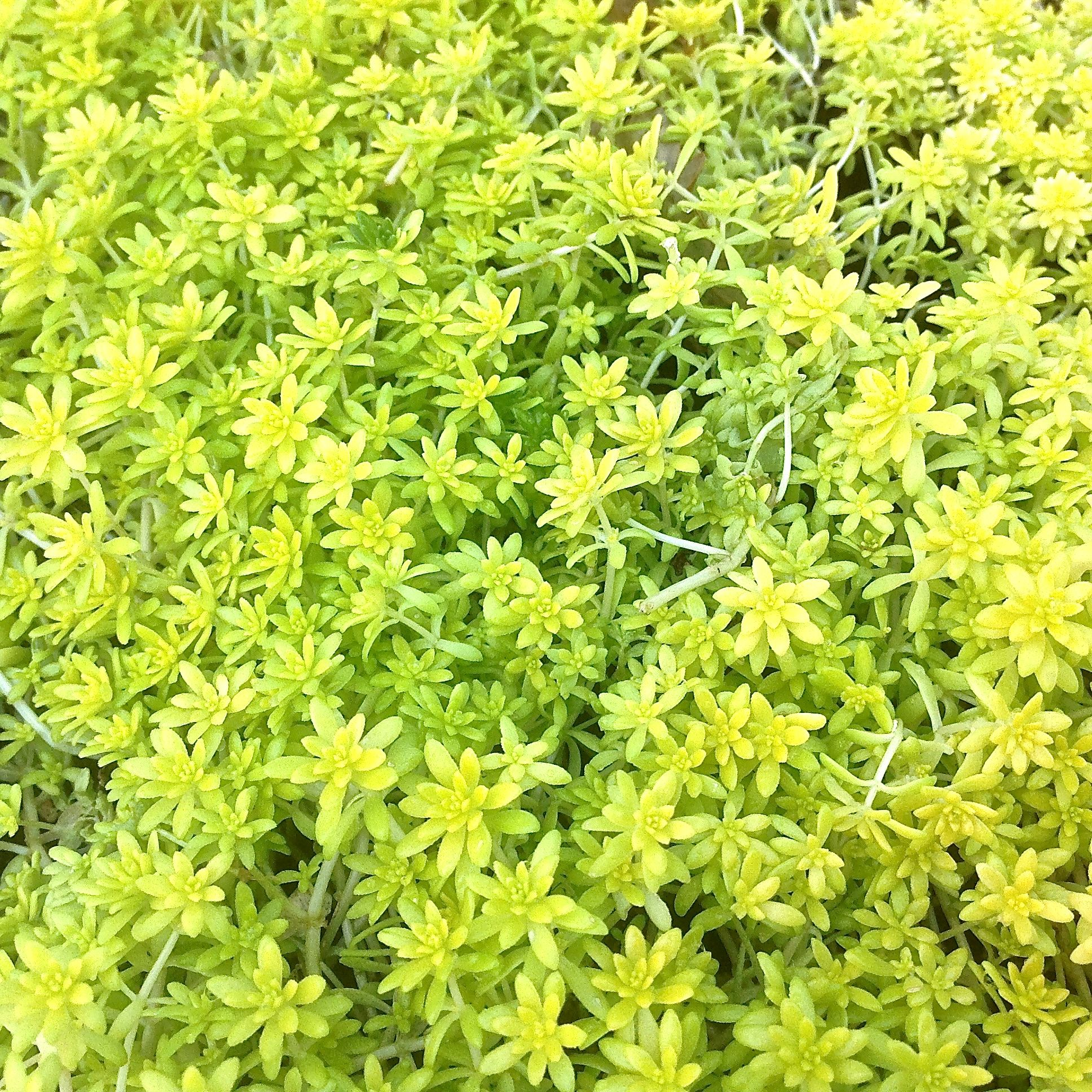 Sedum de oro gold moss 6 8 low water sun or part shade sedum de oro gold moss low water sun or part shade this is not a moss it is a succulentllow flowers on small yellowgreen leaves mightylinksfo Images