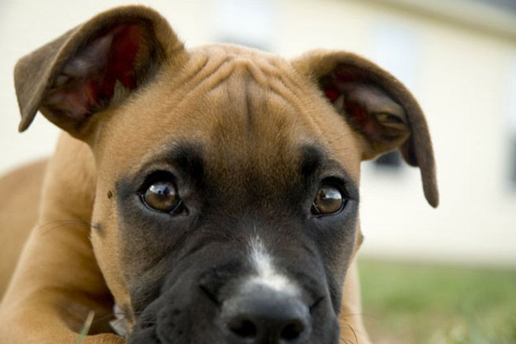 Pictures Of Skin Cancer In Boxer Dogs