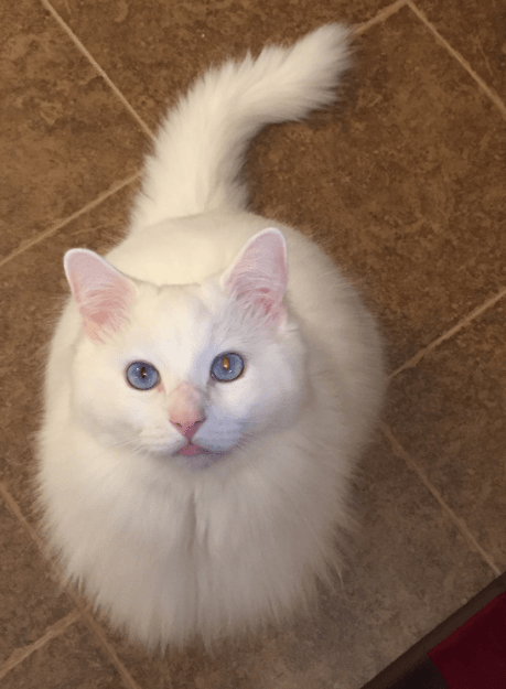 Sinatra Ragdoll Of The Week Cats And Kittens Ragdoll Fluffy Cat