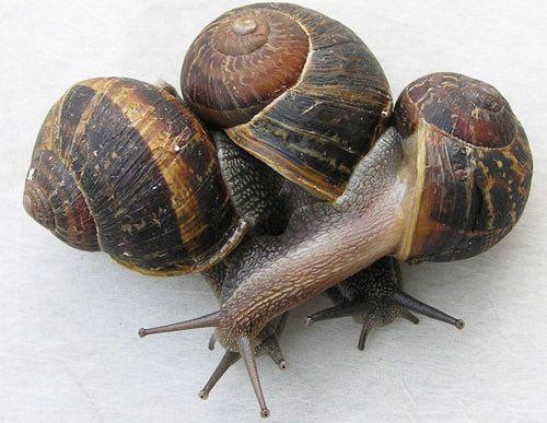 Brown Garden Snail Cornu Asperum Muller Snails In Garden Snail Pet Snails