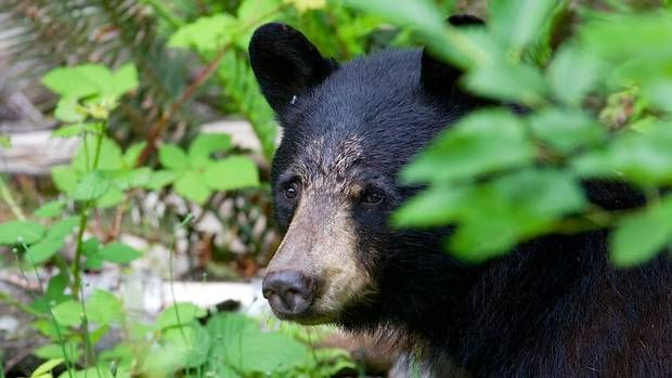 After the spear hunt: We must fight to protect Canada's iconic bears