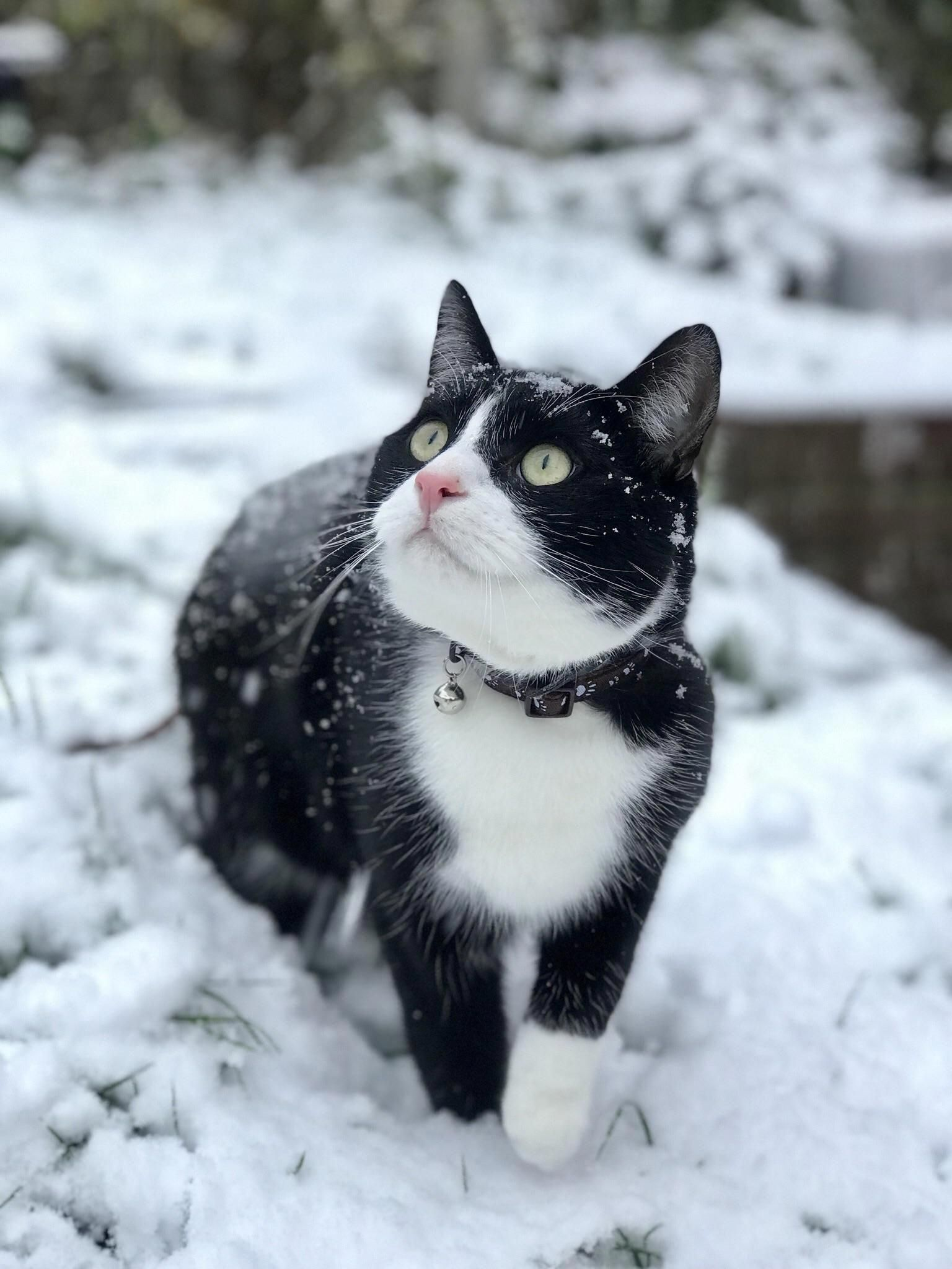 Milos first time in the snow! (he hated it) Cat breeds