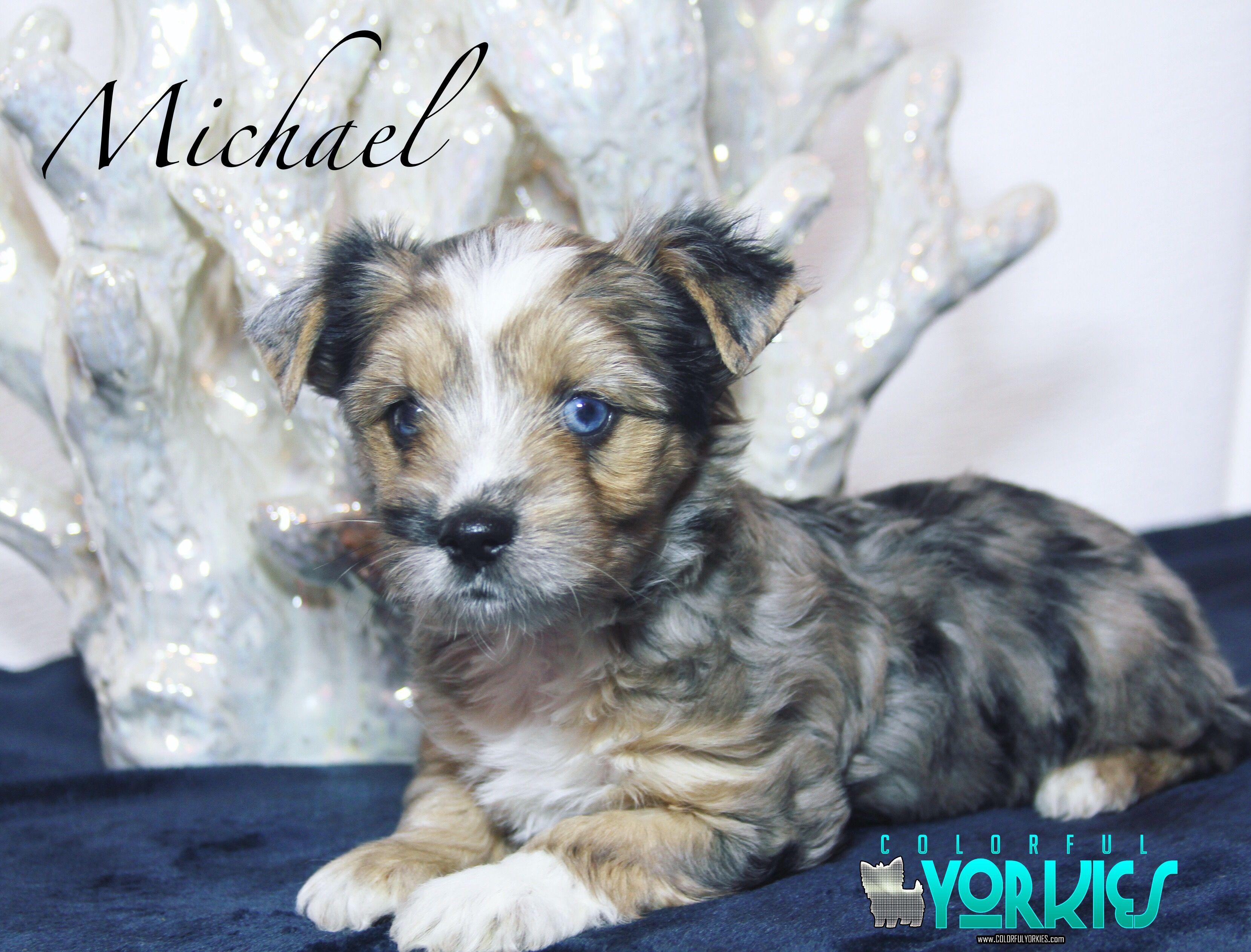 Michael Is A Handsome Ocean Blue Diamond Blue Tweed Merle