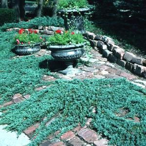 Blue Rug Juniper Is A Spectacular Very Low Trailing