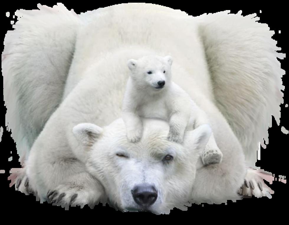 Pin By Marie Fiore On Animals Polar Bear Bear Polar