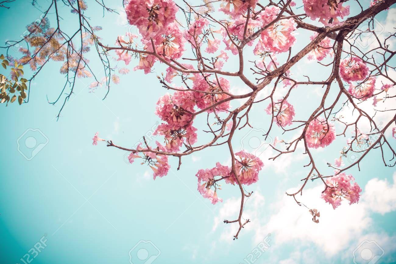 Cherry Blossom Tree Photos Cherry Blossom Wallpaper Sakura Flower Sakura Tree