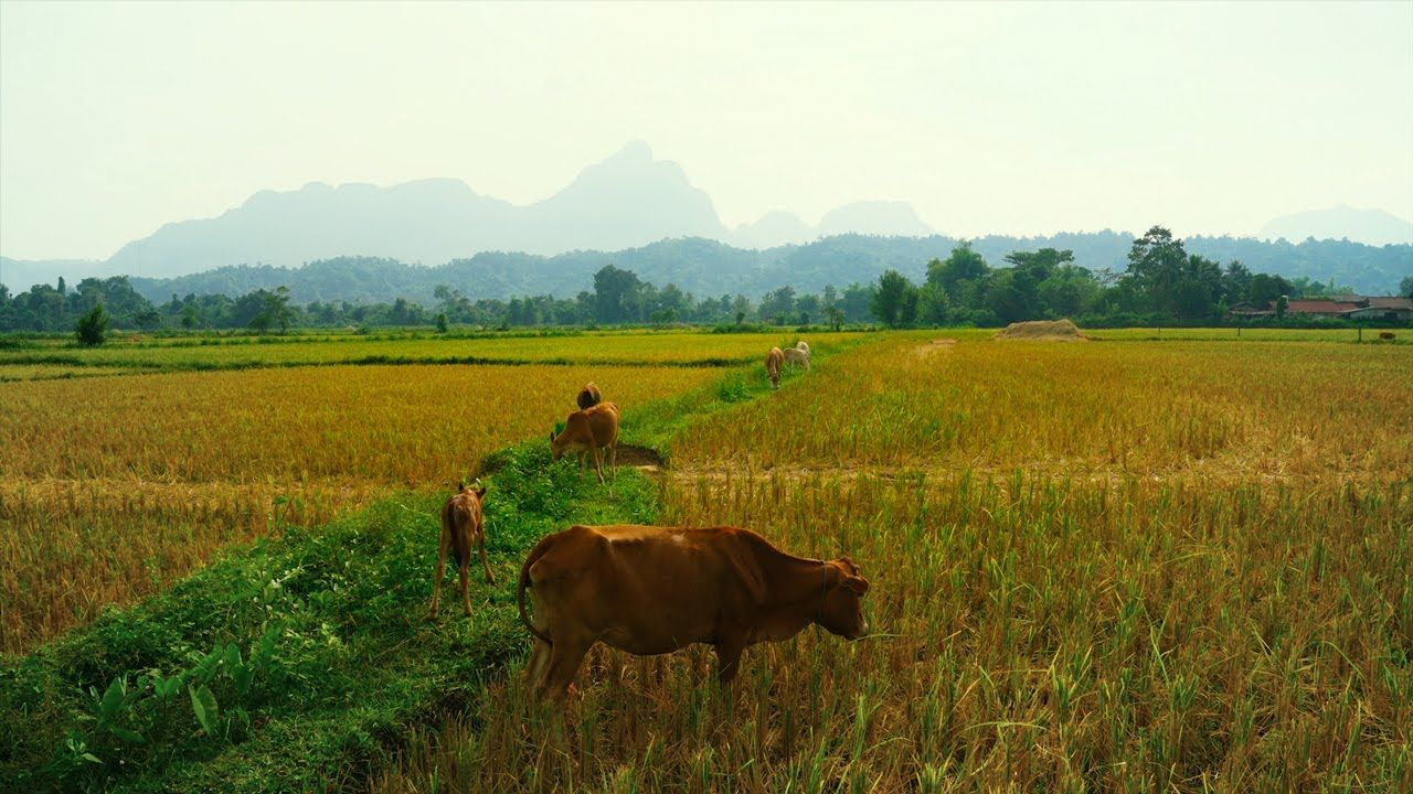 4K Cattle cow Grazing in Field in Southeast Asia     #4K, #AgriculturalField, #Agriculture, #AgricultureField, #Asia, #Asian, #Beautiful, #Beef, #Brown, #BrownCattle, #BrownCow, #Cattle, #Country, #Countryside, #Cow, #Cultivation, #Dairy, #Download, #Downloadable, #Farm, #Farmer, #Farming, #Farmland, #Field, #Grass, #Graze, #Grazing, #Green, #Hd, #Herd, #Hill, #Land, #Landscape, #Landscaped, #Laos, #Livestock, #Mammal, #Meadow, #Milk, #Natural, #Nature, #Outdoor, #Panorama