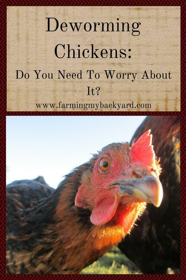 Deworming chickens do you need to worry about it urban