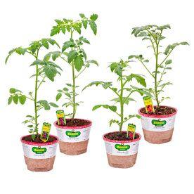 Bonnie 25 Oz Husky Cherry Red Tomato Tami G Tomato Sweet 400 x 300