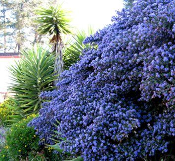 Blue Shire Ceanothus Zone 8 11 Evergreen Groundcover Shrub Partial To Full Sun 2 4 Ft Tall And 6 Wide