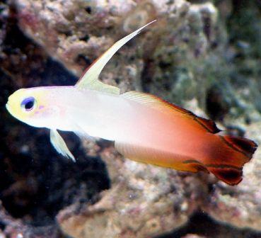 Firefish Goby Saltwater Fish Gobies Marine Fish Tanks Reef Tank Saltwater Tank