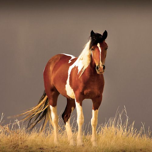 "redwingjohnny: "" Paint Filly, Sepia by BigRichPho """