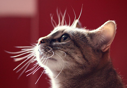 Whiskers What They Do & Why Cat facts, Cats, Cat body